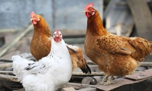 Egg drop syndrome (EDS) - A viral infection in laying hens